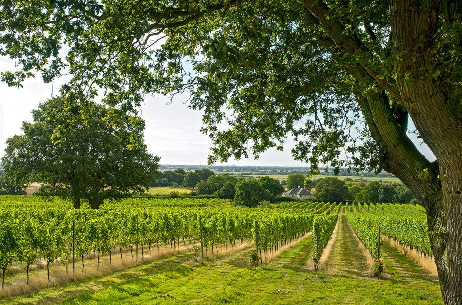 A green lush winery in Kent, England.
